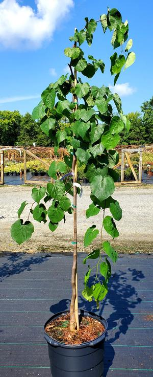 CERCIS CANADENSIS COVEY LAV TWIST