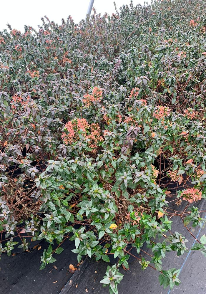 Abelia grandiflora Little Richard