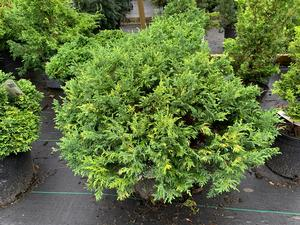Chamaecyparis pisifera Golden Pincushion