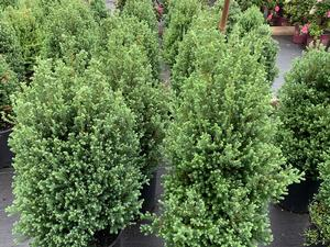 Chamaecyparis Thyoides Red Star