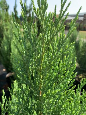 Juniperus chinensis Blue Point