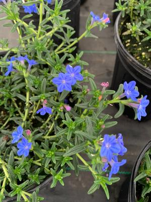 Lithodora diffusa Grace Ward