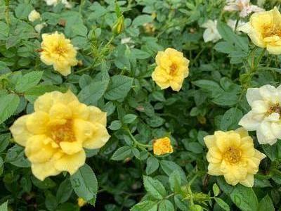 Rosa Drift® Lemon (PP20635)
