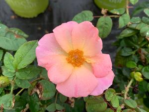 Rosa Knockout® Peachy (PP25628)