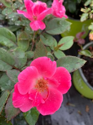 Rosa Knockout®Pink (PP15070)