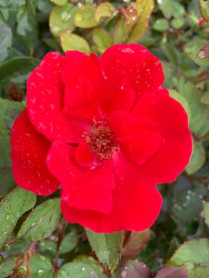 Rosa Knockout® Red (PP11836)