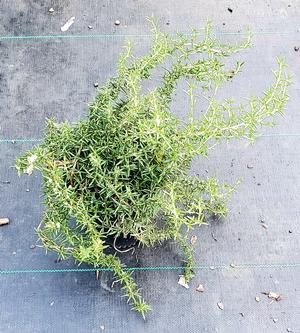 ROSEMARY OFFICINALIS PROSTRATE