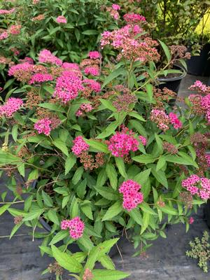 Spiraea japonica Neon Flash