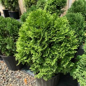 Thuja occidentalis Little Giant