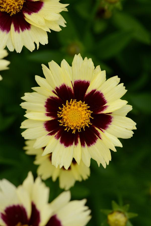 Coreopsis Cream & Red