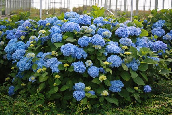 Hydrangea macrophylla Endless Summer®