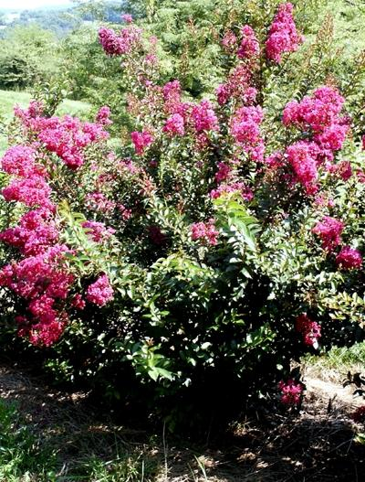 Lagerstroemia indica Dynamite