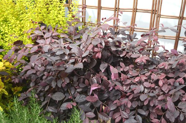 Loropetalum chinense Purple Diamond®