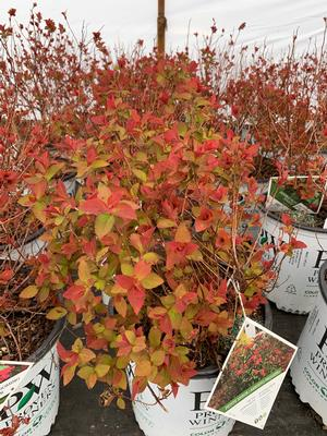 Spirea Double Play Doozie®