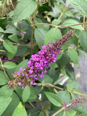 Buddleia LO & BEHOLD® Blue Chip Jr.(PP26581)