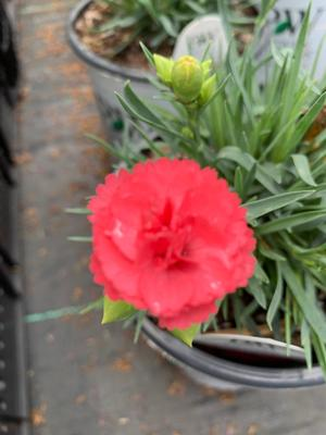 Dianthus Pinks Classic Coral