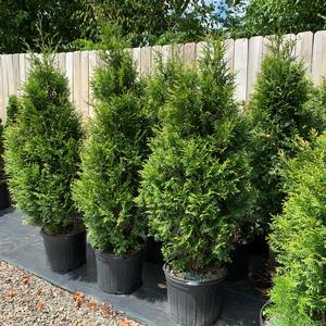 Thuja occidentalis Shearless