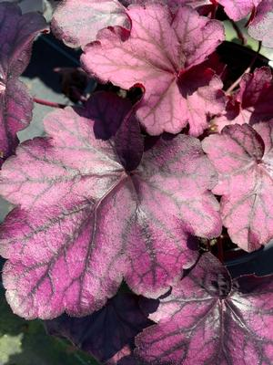 Heuchera Wild Rose