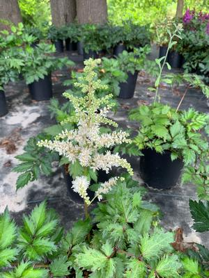Astilbe chinensis Visions in White