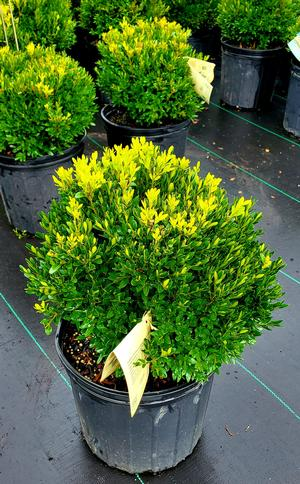Buxus sinica Justin Brouwer