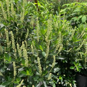 Clethra alnifolia Sixteen Candles