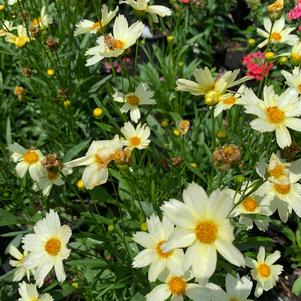 Coreopsis Big Bang Polaris