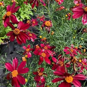 Coreopsis Red Satin PP25736