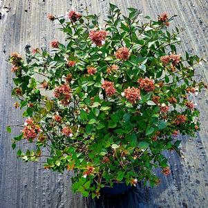 Abelia grandiflora Rose Creek