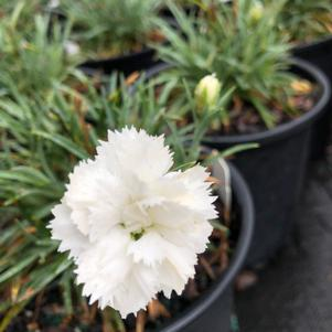 Dianthus gratianopolitanus Early Bird Frosty