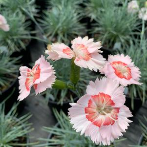 Dianthus Georgie Peach Pie
