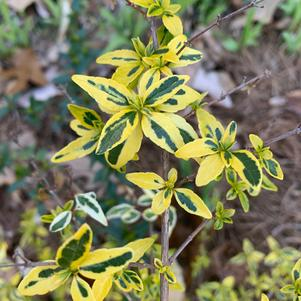 Abelia grandiflora Twist Of Lime