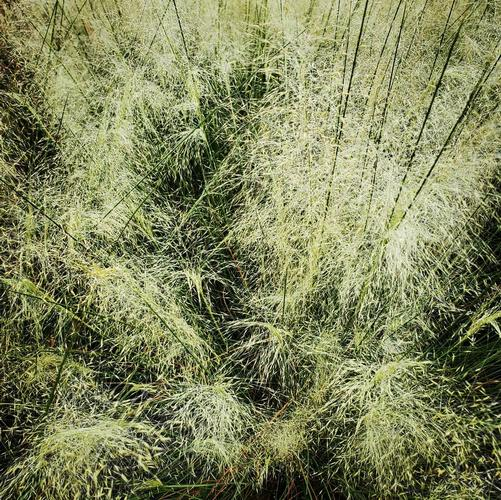 Muhlenbergia capillaris White Cloud