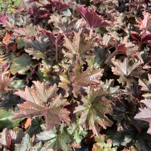 Heuchera Bronze Wave