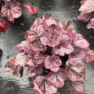 Heuchera Grape Expectations