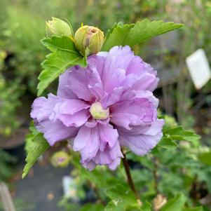 Hibiscus syriacus Blueberry Smoothie™ (PP26662)