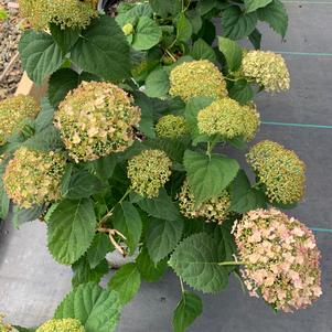 Hydrangea arborescens Invincible Wee White® (PPAF)