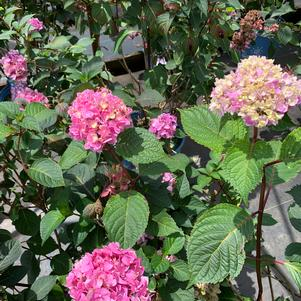 Hydrangea macrophylla Endless Summer® Bloomstruck® (PP25566)