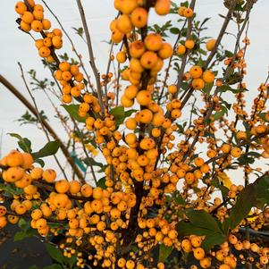 Ilex verticillata Winter Gold
