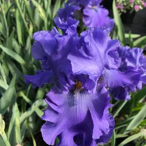 Iris gemanica Blueberry Bliss