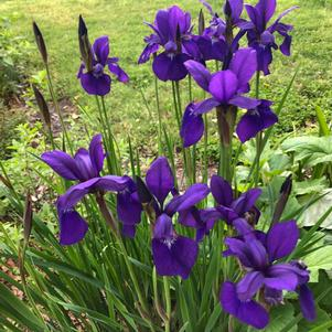 Iris siberica Ceasars Brother