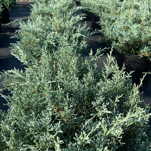 Juniperus chinensis Angelica Blue