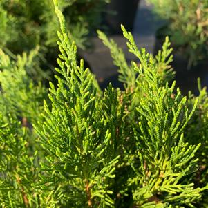 Juniperus x pfitzeriana (chinensis) Sea Green