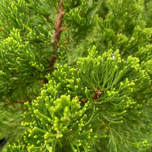 Juniperus chinensis Torulosa Hollywood