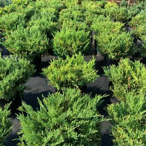 Juniperus horizontalis Youngstown