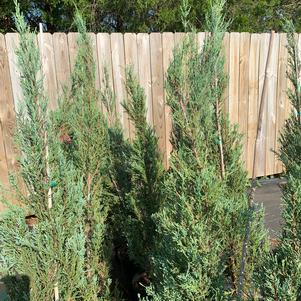 Juniperus scopulorium Skyrocket