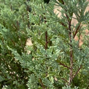 Juniperus scopulorum Wichita Blue