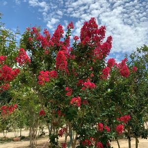 Lagerstroemia indica Carolina Beauty