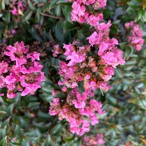 Lagerstroemia indica Chickasaw