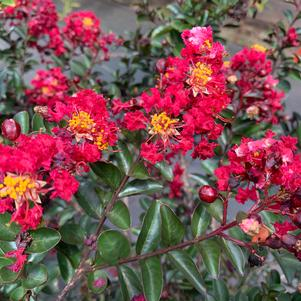 Lagerstroemia indica Tightwad Red