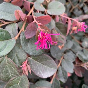 Loropetalum chinensis Ruby